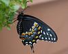 Eastern Black Swallowtail (female)